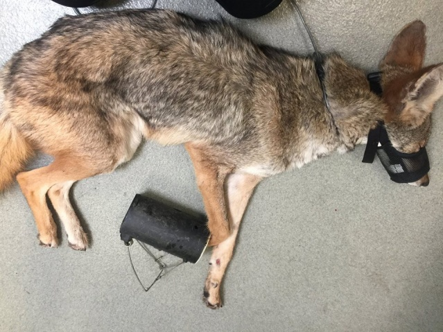 THIS COYOTE caught his foot in a gopher trap in Westminster and was euthanized.